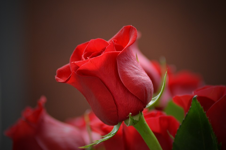 Picture of red rose flower - free ghana pictures