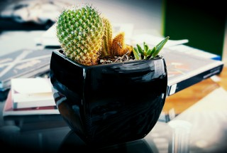 Gold spike Cactus or cactai plant